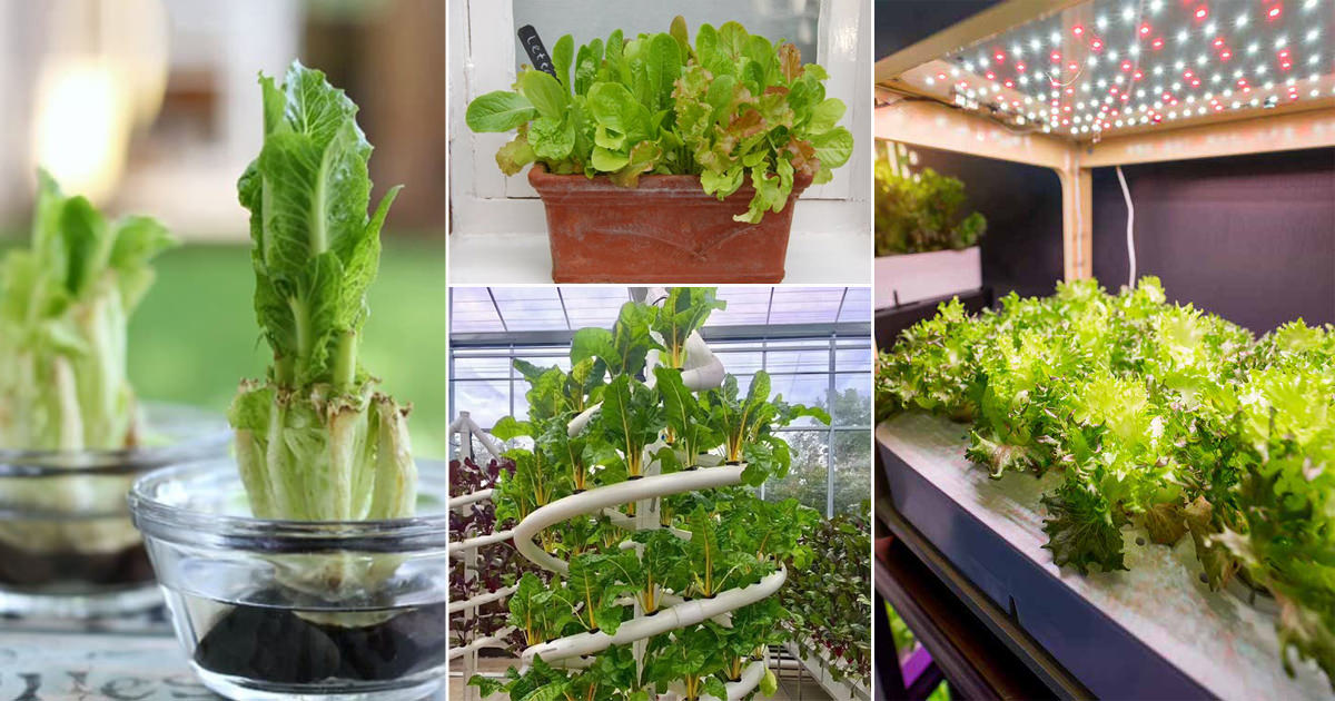 If you love salads, you have to include lettuce in your indoor vegetable garden if you want a crunchy and fresh supply. Growing it indoors is not at a