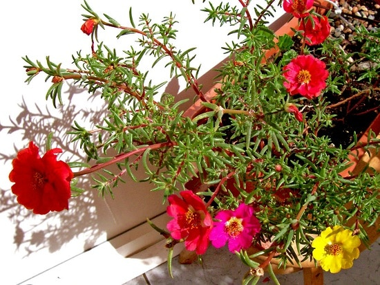 Cascading Flowers for Window Boxes you must grow