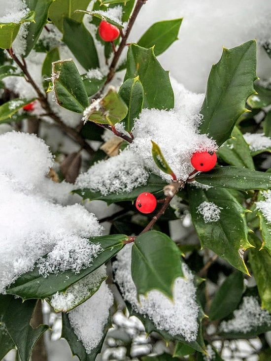 Do you want to bring life to your garden even in the harsh winters? Here are 11 of the Best Plants That Stay Green in Winters!