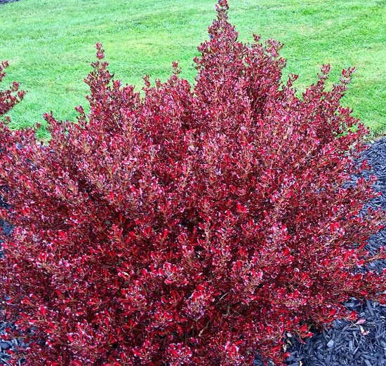Shrubs for Shade that are both colorful and easy to grow