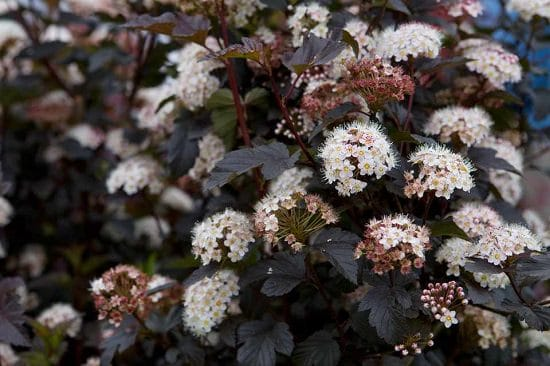 Shrubs for Shade that you can be proud of