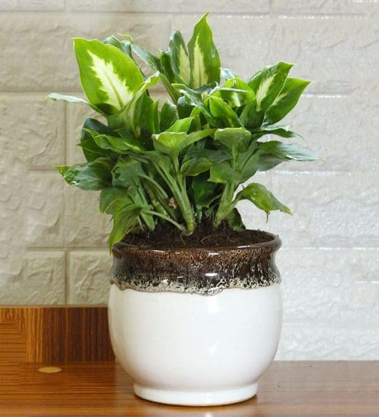 How to care for Dieffenbachia if you have it in your house