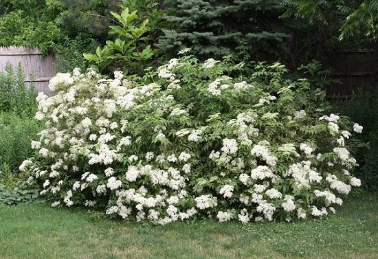 Shrubs for Shade that is going to make your garden stand out