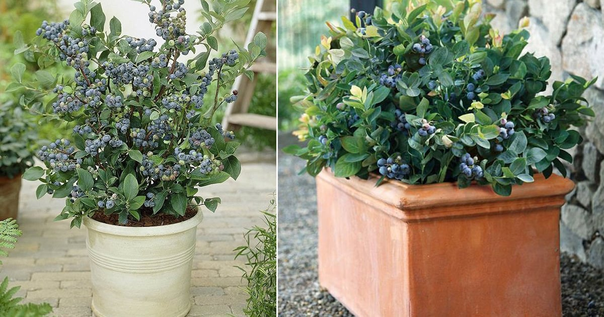 How To Grow Blueberry In Container Growing Blueberries In Pots