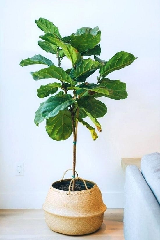 Best Ficus Trees for Home