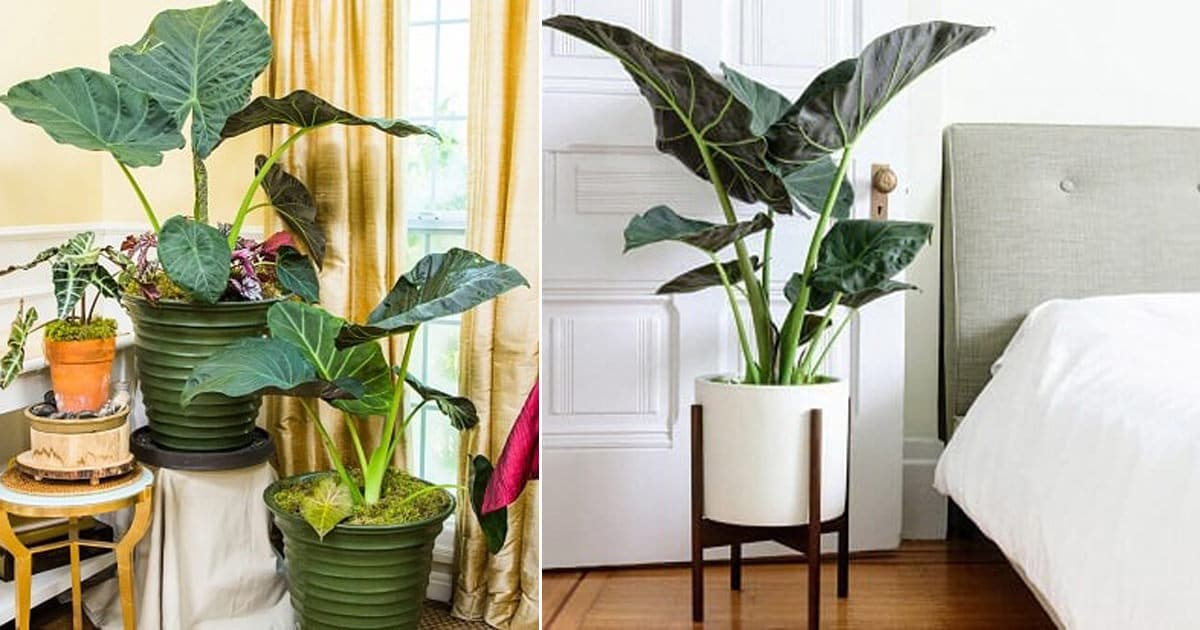 Growing Elephant Ear Plant Indoors Balcony Garden Web