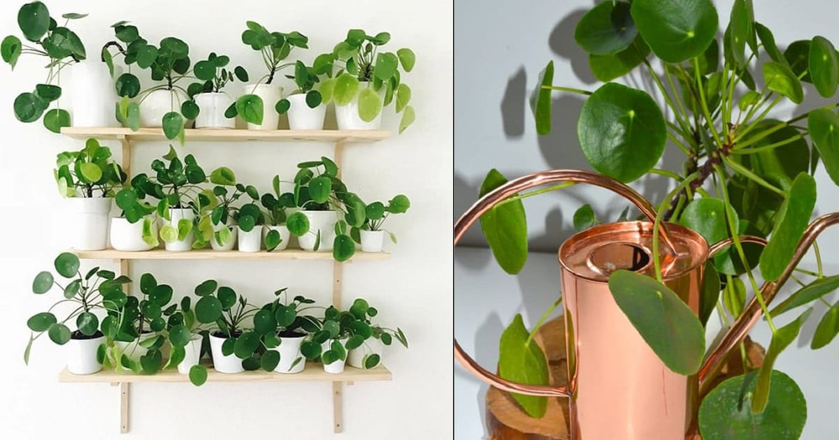 Pilea Peperomioides Care How To Grow Chinese Money Plant