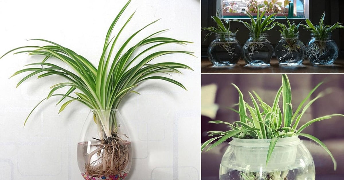 Growing Spider Plants In Water How To Grow Spider Plant In Water