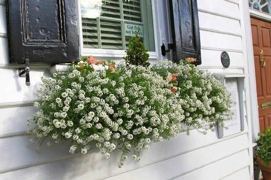 Easy to maintain Cascading Flowers for Window Boxes