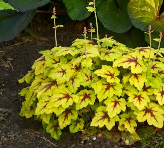 attractive Shrubs for Shade for you