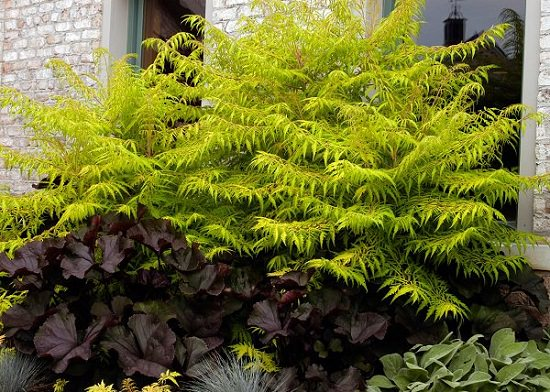 Shrubs for Shade that you can grow at your yard