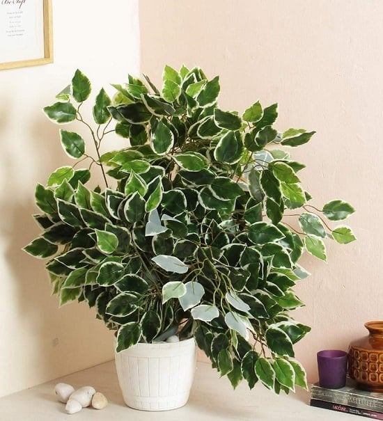 Types of outdoor ficus trees