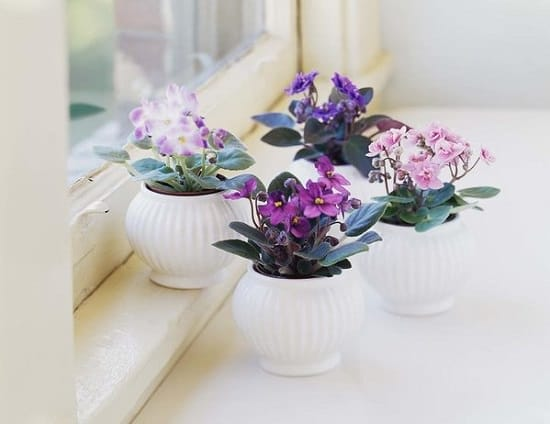 top tips to Growing African Violet