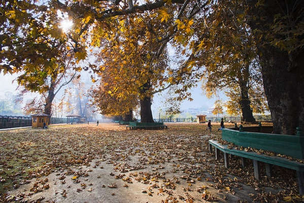 Everything About Chinar Trees