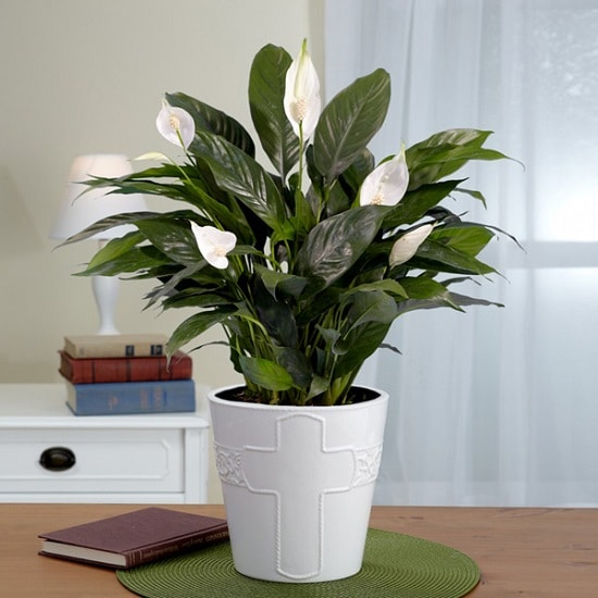 Indoor Plants with White Flowers