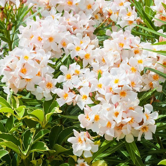 Bushes with White Flowers 10