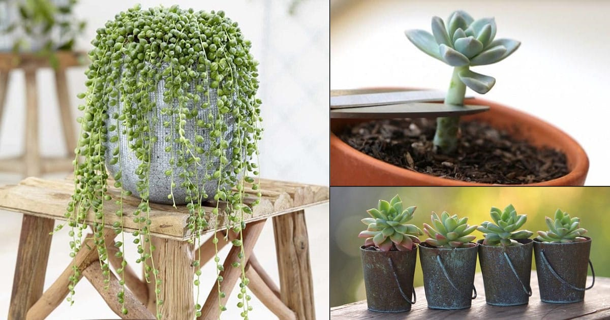 13 Best Succulents To Propagate From Cuttings Balcony Garden Web