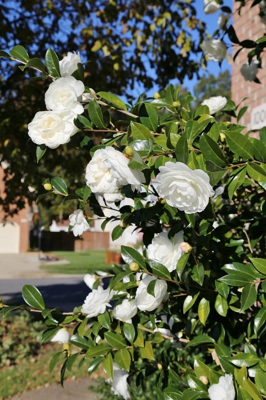 Bushes with White Flowers 19
