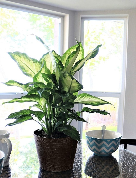 some of the best Dieffenbachia Benefits