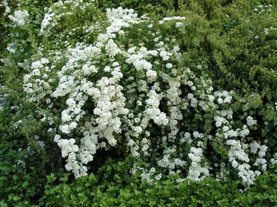 Bushes with White Flowers 6