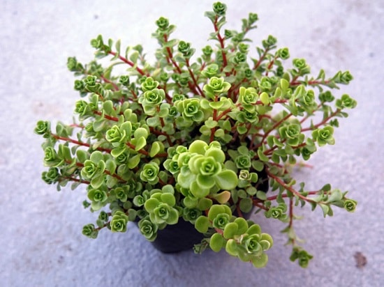 Best Succulents to Propagate from Cuttings 2