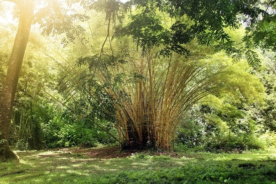 How to Propagate Bamboo in the best way