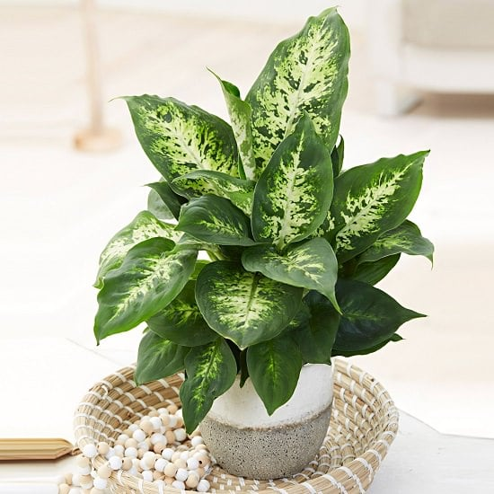Types of Dieffenbachia for rooms