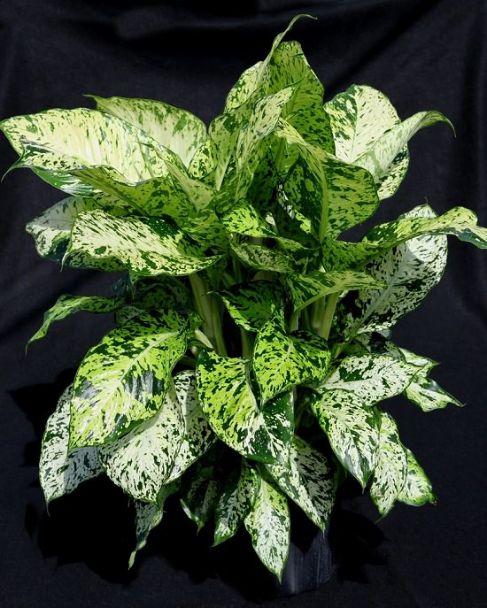 Types of Dieffenbachia for house