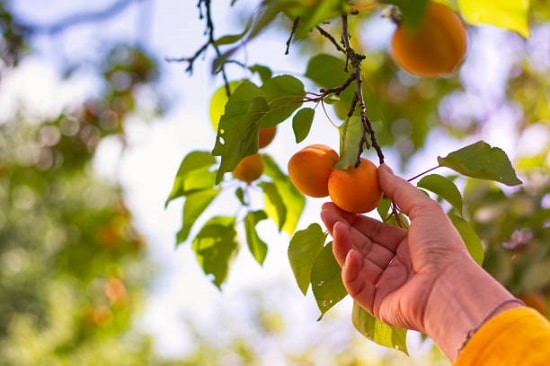 Growing Apricot in Pots easily