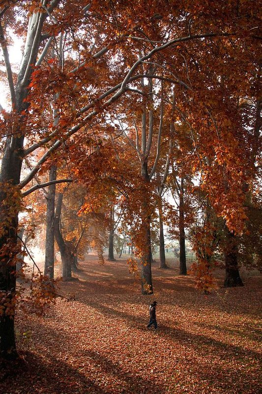 Everything About Chinar Trees that you need to know!