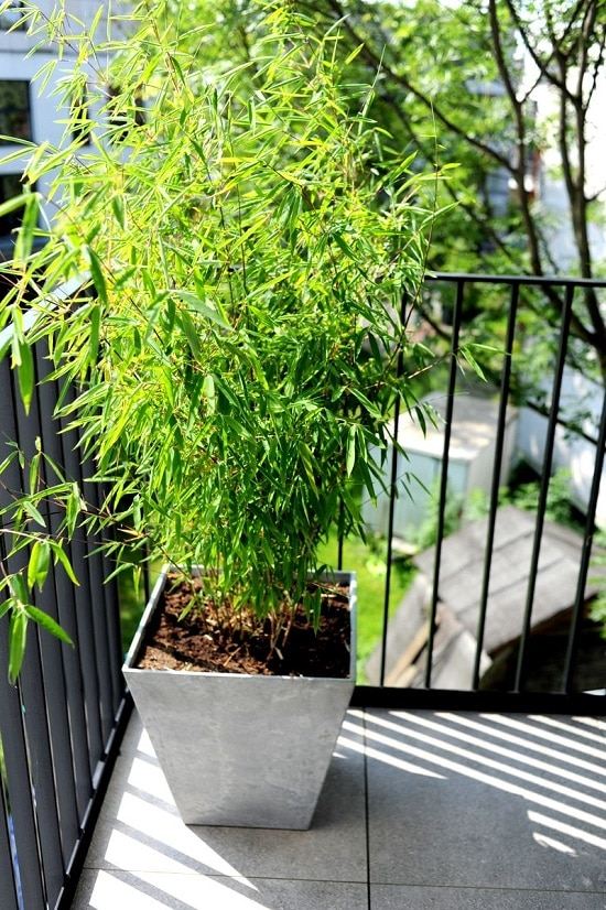 Growing Bamboo in Pots