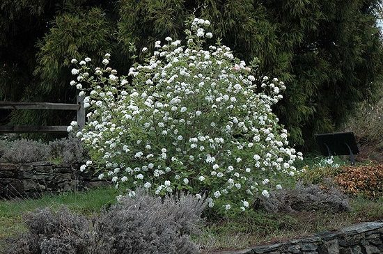 Bushes with White Flowers
