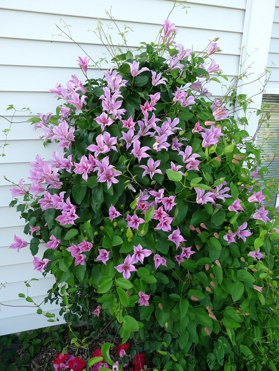 Types of Clematis 10