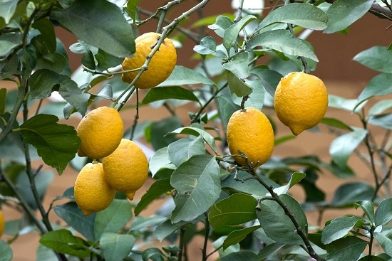 Different Types of Lemons with Pictures 12