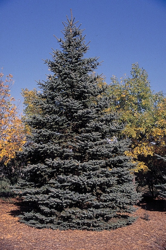 Different Types of Spruce Tree 4