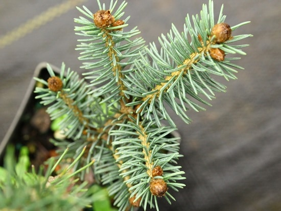 Different Types of Spruce Tree 6