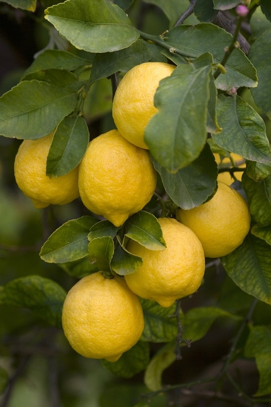 Different Types of Lemons with Pictures 8