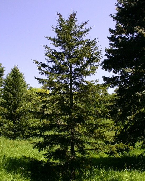 Different Types of Spruce Tree 9