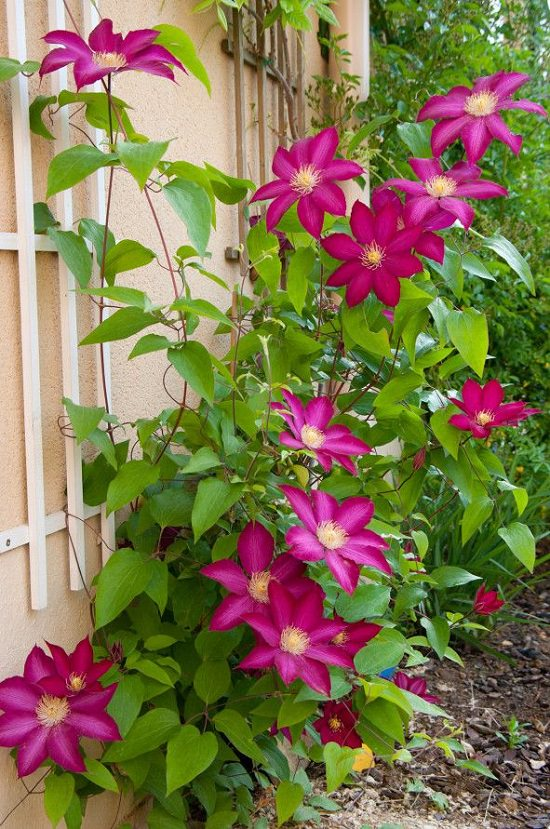 Types of Clematis 18