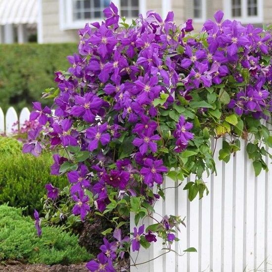 Types of Clematis 14