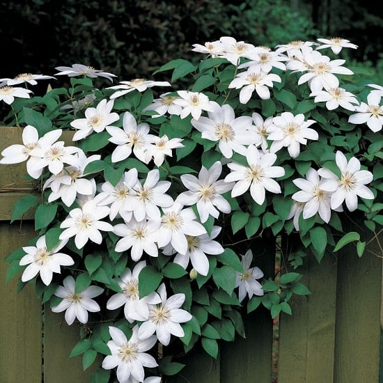 Types of Clematis 2