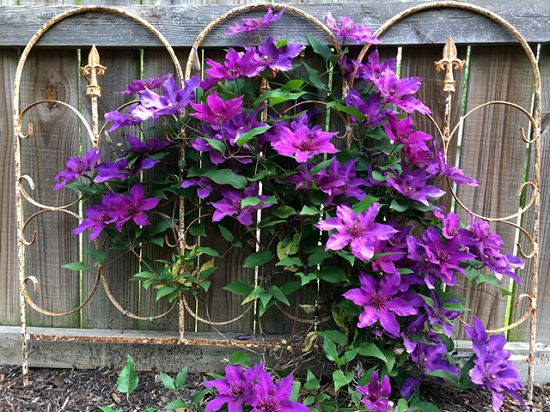 Types of Clematis 30