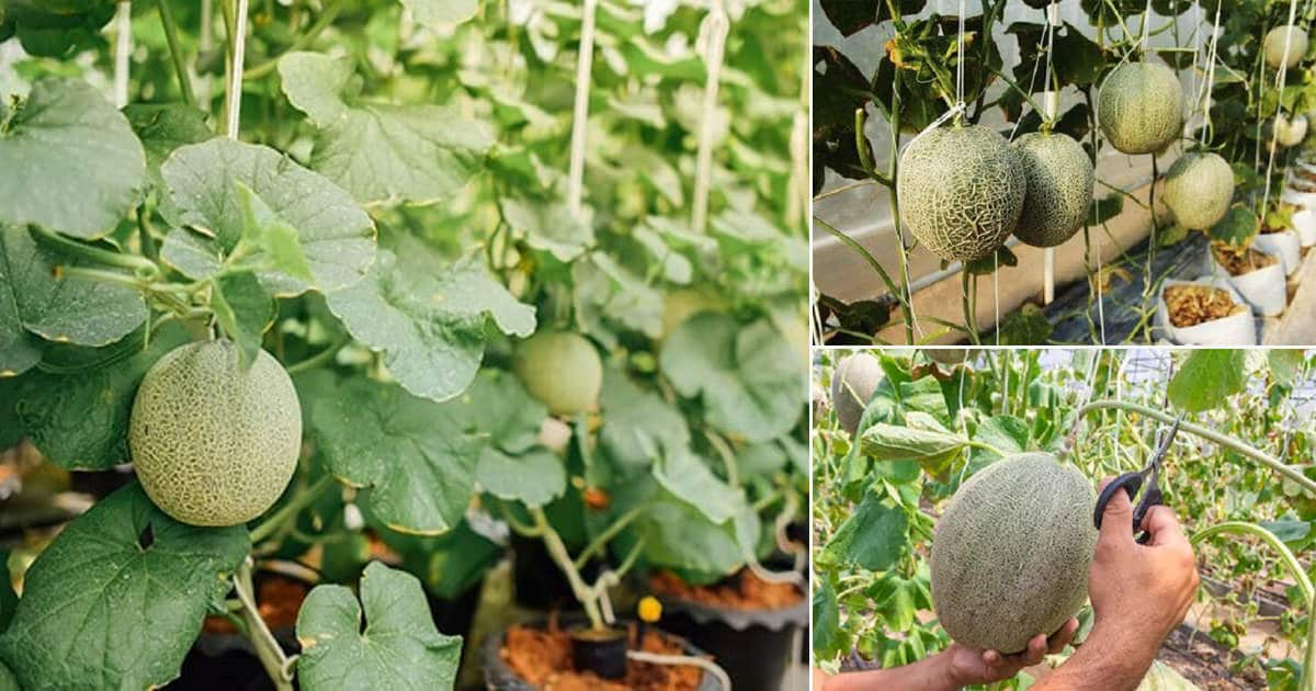 Cantaloupe Leaves / Most researchers believe that it originates either from persia.