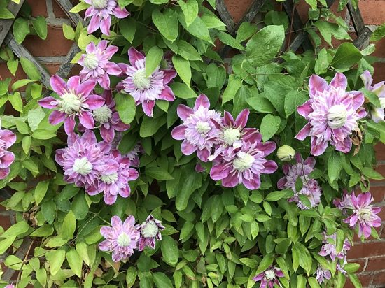 Types of Clematis 6