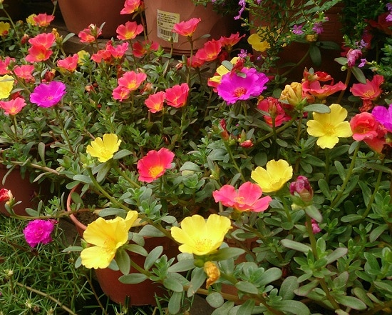 Best Flowers to Plant in Florida 5