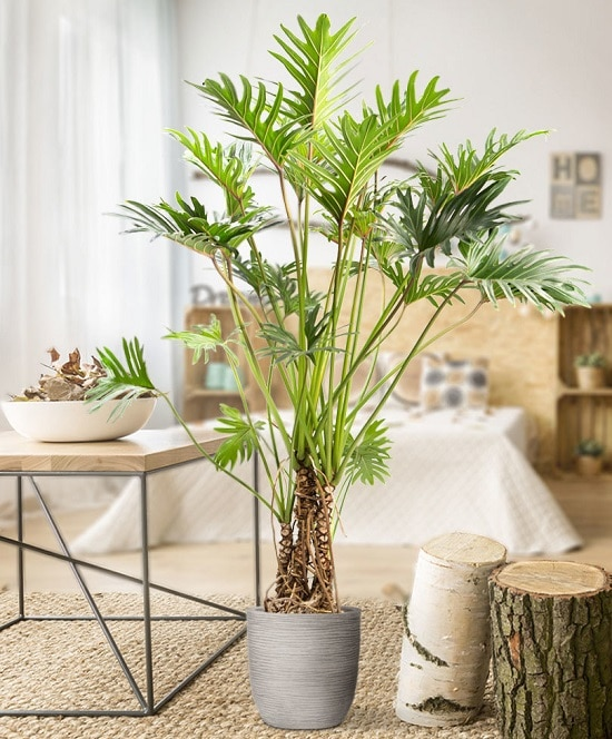Philodendron Plant Care 2