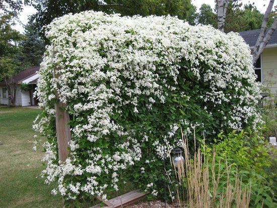 Types of Clematis 29