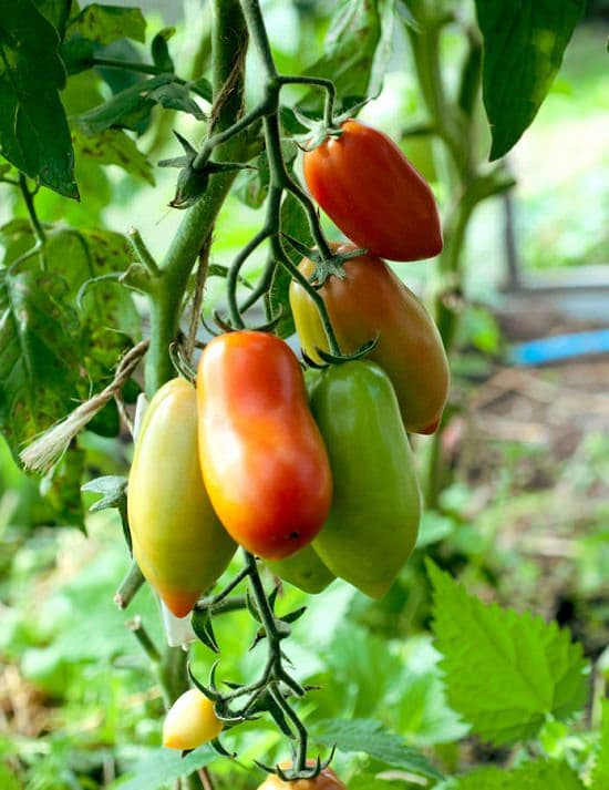When to Plant Tomatoes in Georgia