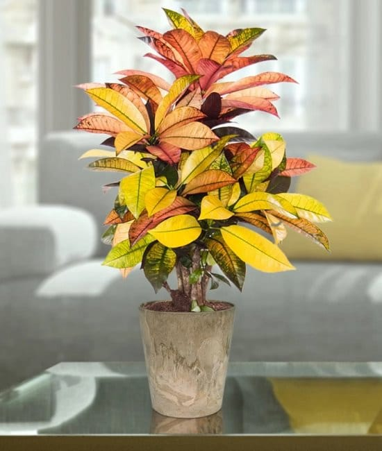 Types of Crotons 5