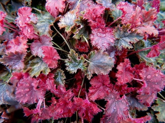 Best Heuchera Varieties 6